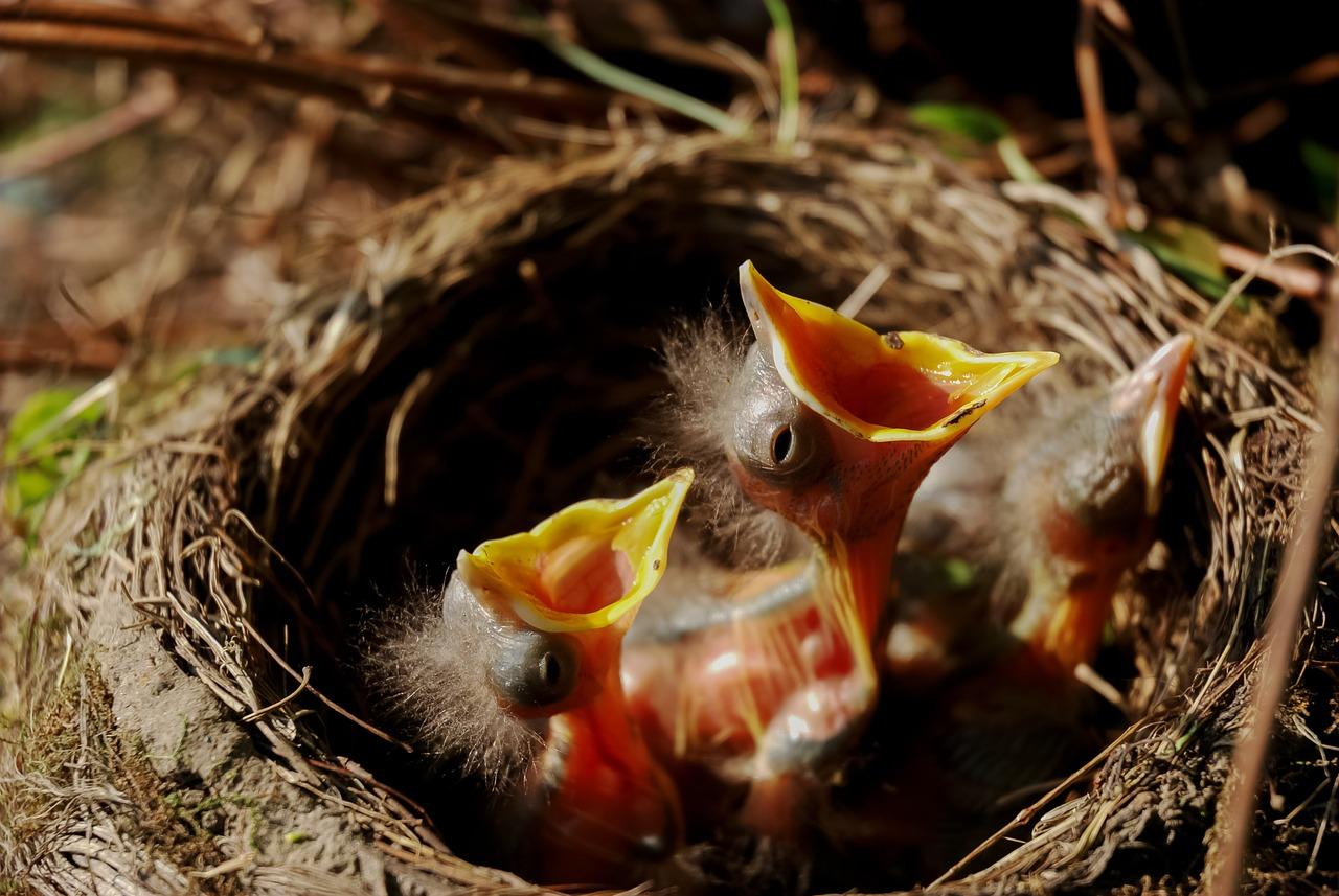 Vogelnestje in de taxushaag?